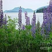 Lupine At Sorrento Poster