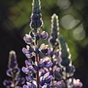 Lupine At The Gate Poster