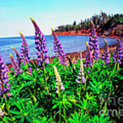 Lupine Bay Fortune Poster
