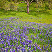 Lupine Oak Poster