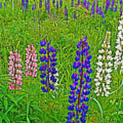 Lupine On Campobello Island-nb Poster