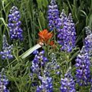 Lupine With Paintbrush Poster