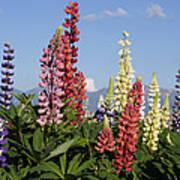 Lupinus Flowers Hokkaido Japan Poster