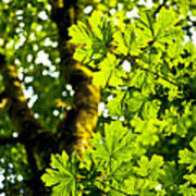 Lush Green Maple Poster