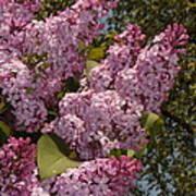 Lush Lilacs Poster