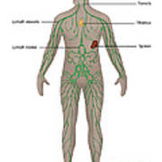 Lymphatic System In Male Anatomy Poster