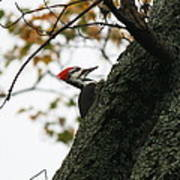 Lyndonville Pileated Woodpecker Poster