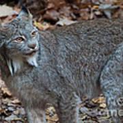 Lynx Eyes Poster