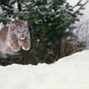 Lynx Leaping Poster