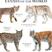 Lynx Of The World Poster