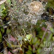 Lynx Spider And Young Poster