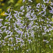 Lyreleaf Sage Wildflowers - Salvia Lyrata Poster