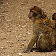 Macaque Monkeys Poster