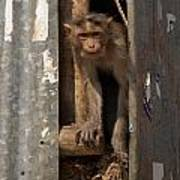 Macaque Peeking Out Poster