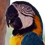 Macaw Head Study Poster