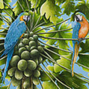 Macaw Parrots In Papaya Tree Poster
