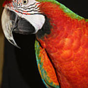 Macaw Profile Poster