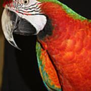 Macaw Profile Poster by John Telfer
