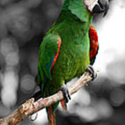 Macaw With Black And White Background Poster