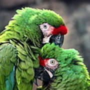 Macaws In Love Poster
