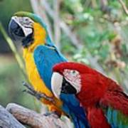 Macaws Of Color23 Poster
