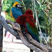 Macaws Of Color24 Poster