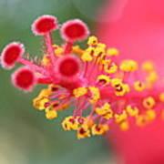 Macro Close Up Of Hibiscus Pollen  Poster