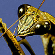 Macro Closeup Of The Chinese Praying Mantis Cleaning Himself After Eating A Live Cricket Poster