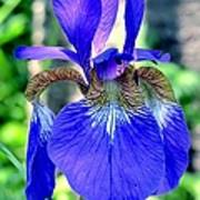 Macro Iris Poster