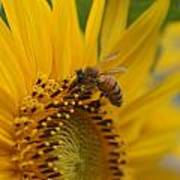 Macro Of Bee On Sunflower...   # Poster