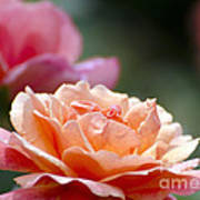 Macro Orange And Pink Floribunda Rose Poster
