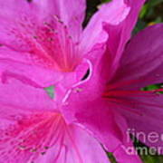 Macro Purple Azalea Flower Poster