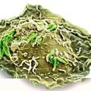 Macrophage Engulfing Tb Bacteria, Sem Poster by Science Photo Library