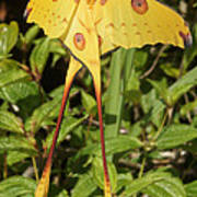 Madagascan Moon Moth Poster