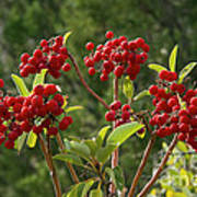 Madrone Berries Poster