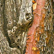 Madrone Tree Bark Poster