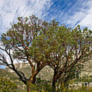 Madrone Trees Poster