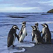 Magellanic Penguin Trio On Beach Poster