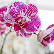 Magenta Ears Orchid Poster