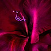 Magenta Gladiola Flower Poster