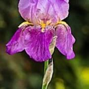 Magenta Iris Crop Poster