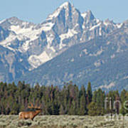 Magnificent Elk Poster