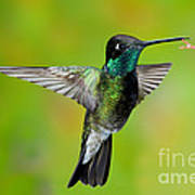 Magnificent Hummingbird Poster