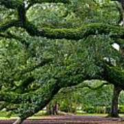 Magnificent Oak Alley Tree Poster