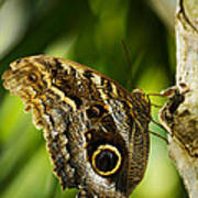 Magnificent Owl Butterfly Poster