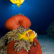 Magnificent Red Anemone With Anemone Fish Poster