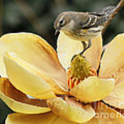 Magnolia And Warbler Photo Poster