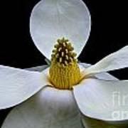 Magnolia Beauty Poster