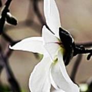 Magnolia In Profile Poster
