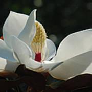 Magnolia Tiny Gem Poster